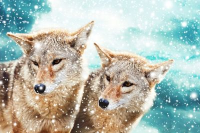 Coyotes in Snow Wall Mural