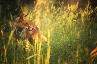 Fox in Summer's Field Wall Mural