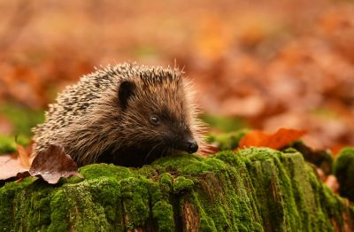 Autumn Hedgehog Wall Mural