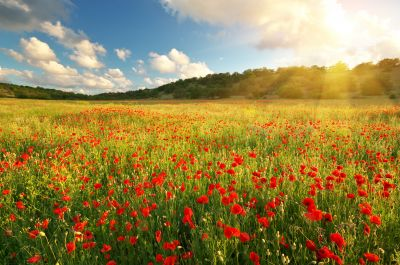 Poppy Field Wall Mural