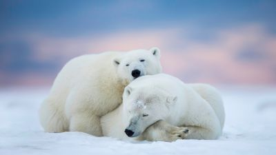 Sleeping Polar Bears Wall Mural