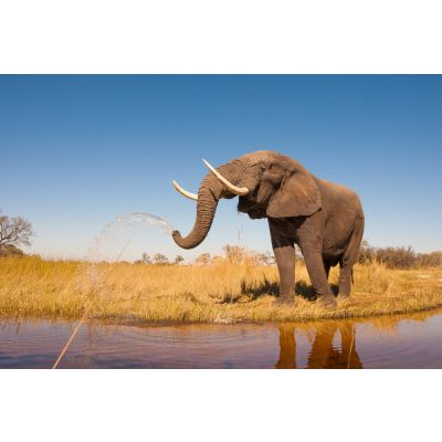 African Elephant Wall Mural