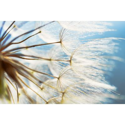 Dandelion Close Up Wall Mural