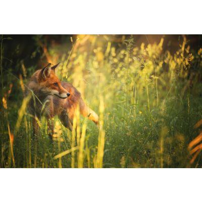 Fox in Summer's Field Wall Mural