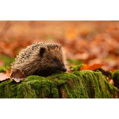 Autumn Hedgehog Wall Mural