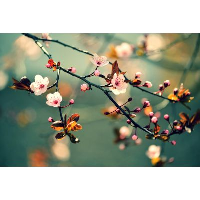 Japanese Cherry Sakura Wall Mural