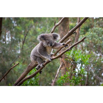 Koala Bear Climbing Wall Mural