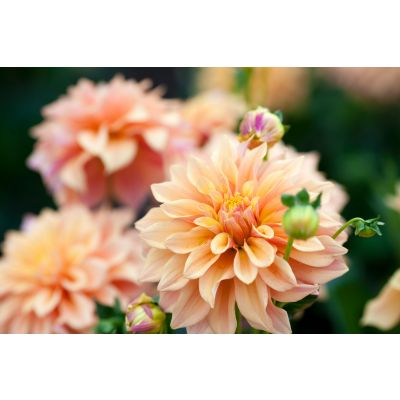 Orange & Yellow Dahlia Wall Mural