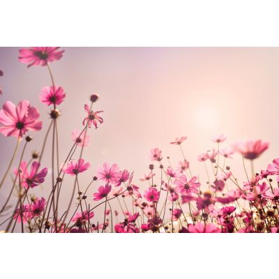 Pink Cosmos Field Wall Mural