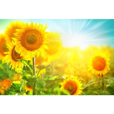 Sunflowers in Sunshine Wall Mural