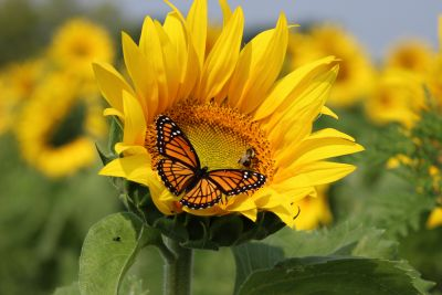 Butterfly & Bee on Sunflower Wall Mural
