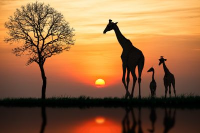 Giraffes in Sunset Wall Mural