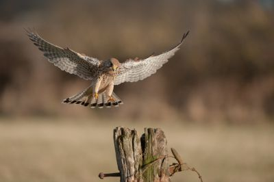 Kestrel Landing on Post Wall Mural