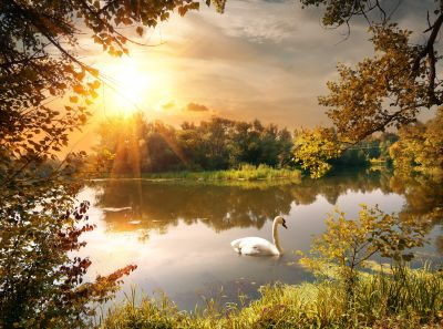 Swan in Lake Wall Mural