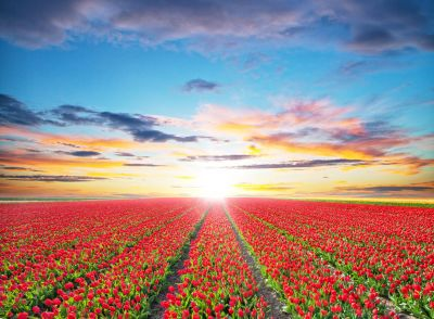 Tulip Field in Sunset Wall Mural