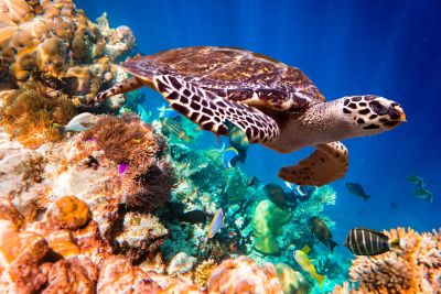 Seaturtle in Coral Reef Wall Mural